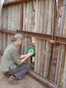 Bottle feeding a rhino calf.